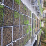 Ryegrass growing boxes on tables