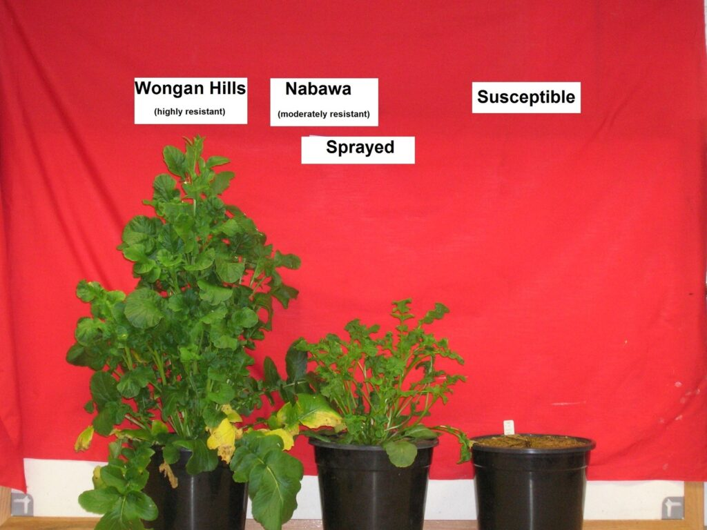Three plants in pots showing different resistances