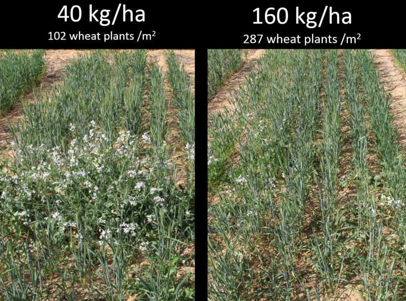 Comparison of two wheat depending on kilograms per hectar