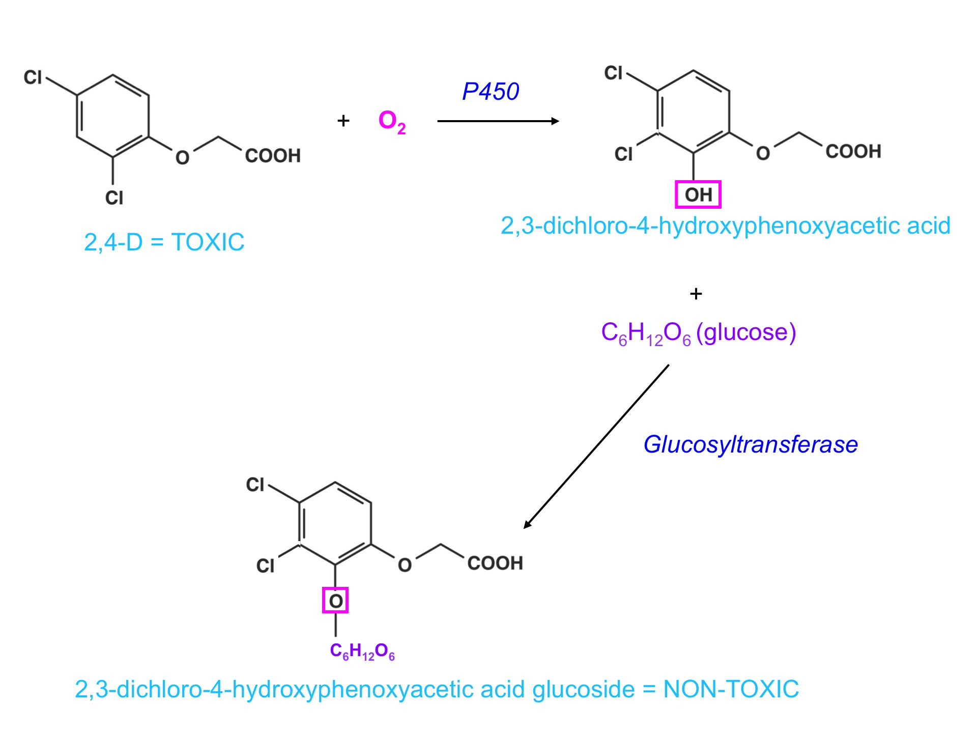 2,4-D metabolism graphic (toxic vs non-toxic)