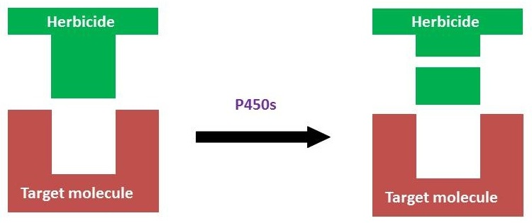 Metabolic resistance p450s showing effects