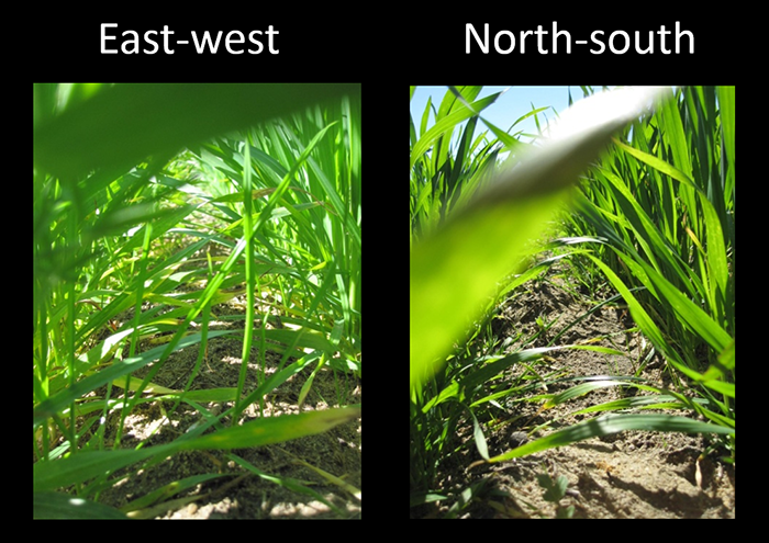 Comparison of sowing in east-west and north-south aligned crops
