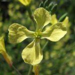 Yellow radish flower