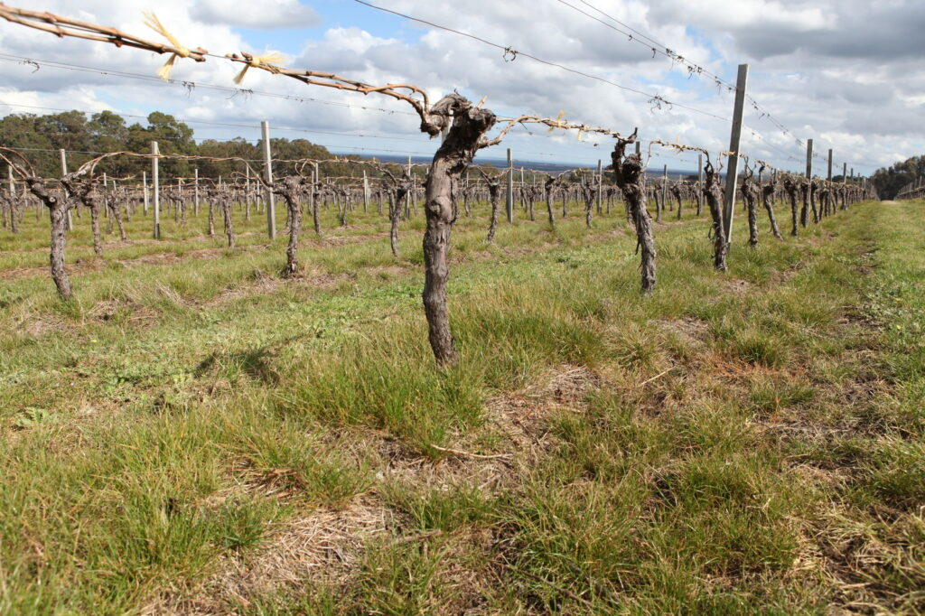 Ryegrass under vines