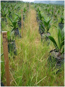 field e. indica