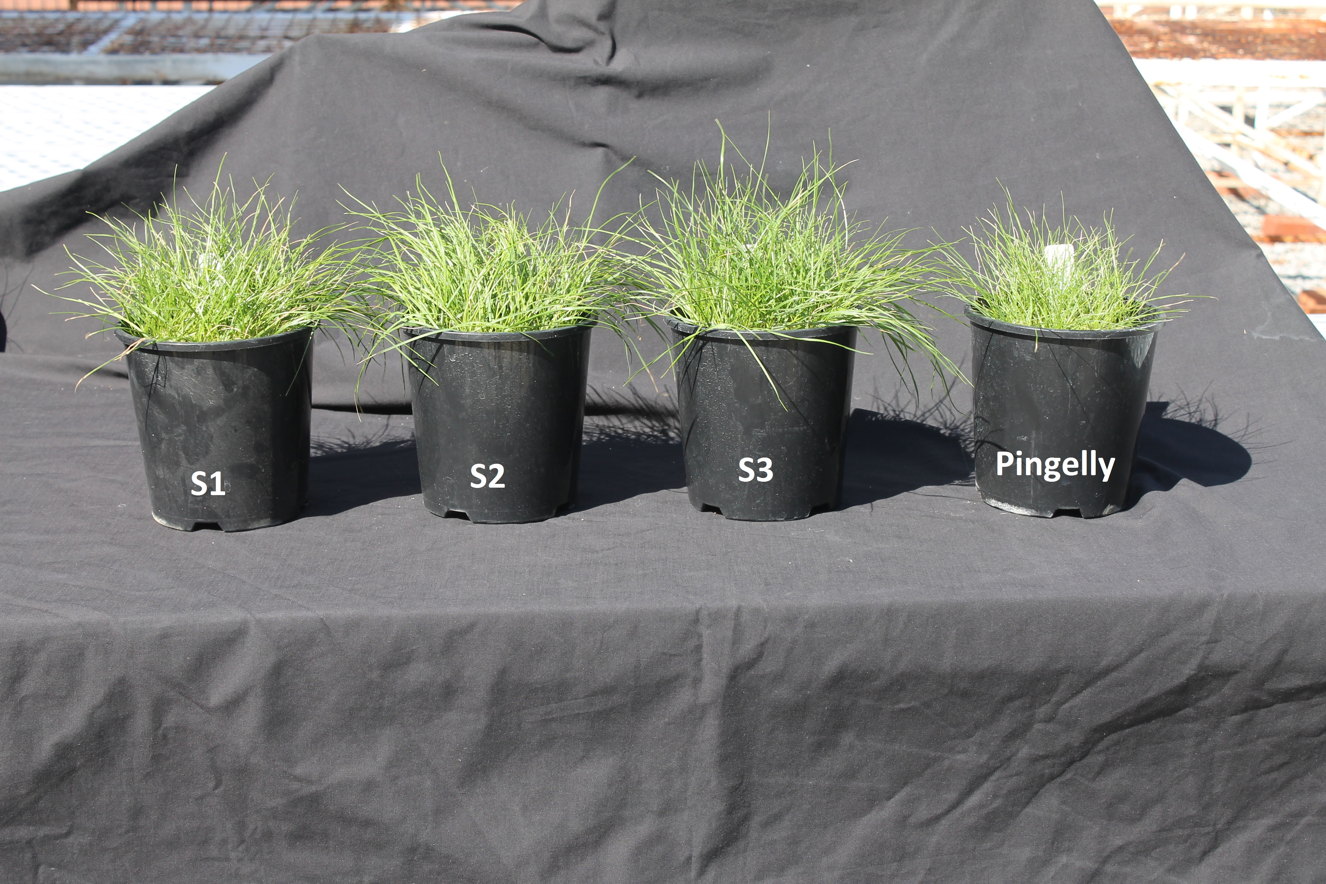 Figure 3. Reduced biomass of untreated simazine resistant population (Pingelly) compared to three known susceptible populations of silver grass.