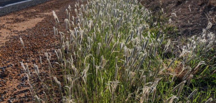 feathertop-rhodes-grass