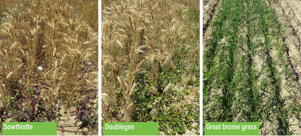 Three of the five emerging weeds (Brome Grass, Sowthistle, doublegee) studied in a DPIRD trial at Wongan Hills, WA