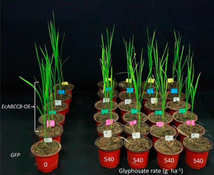 Transgenic rice over expresses EcABCC8